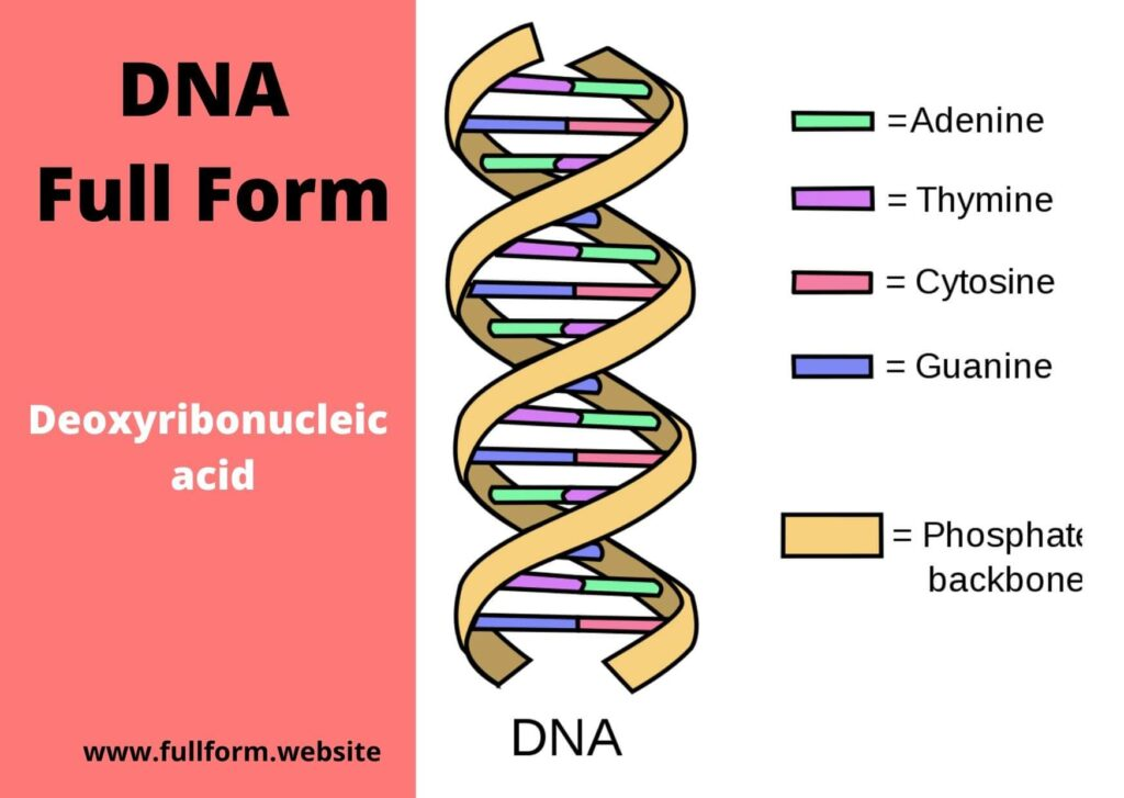 DNA Full Form